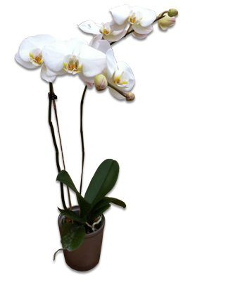 orchidee personnalisee